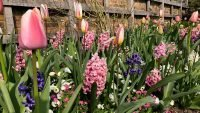 Spring Spectacular at Standen House & Garden