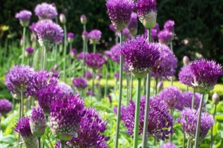 Allium Extravaganza at Arundel Castle